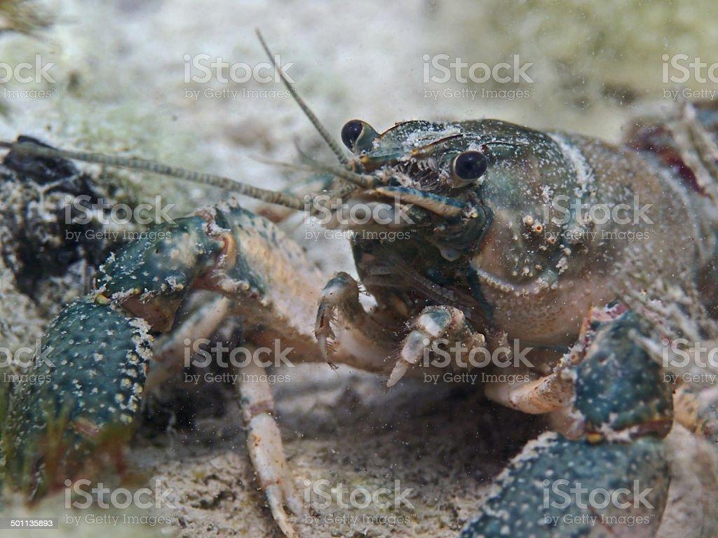 Crayfish, Amerikanischer Flusskrebs (Orconectes limosus) royalty-free stock photo