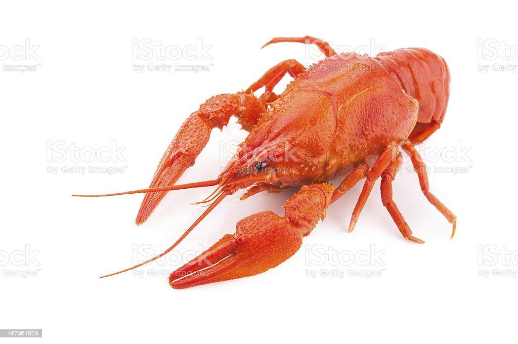 Crayfish isolated stock photo