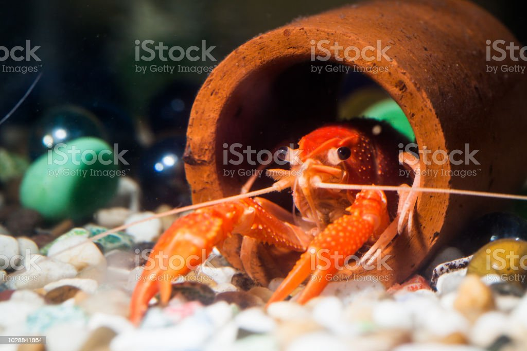 Crayfish on the colorful stone in the water. stock photo