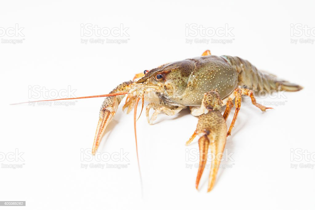 Crayfish on the white zbiór zdjęć royalty-free