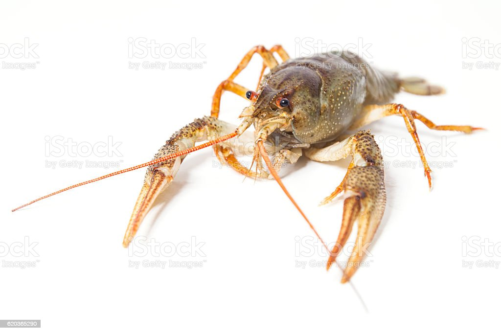 Crayfish on the white zbiór zdjęć royalty-free