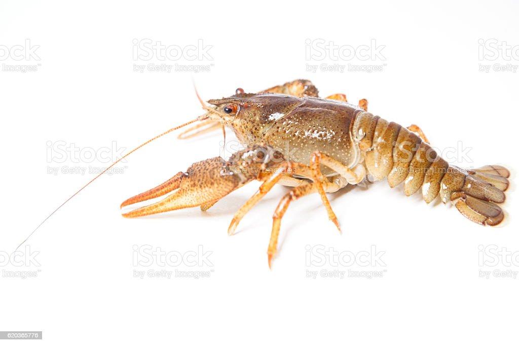 Crayfish on the white foto de stock royalty-free