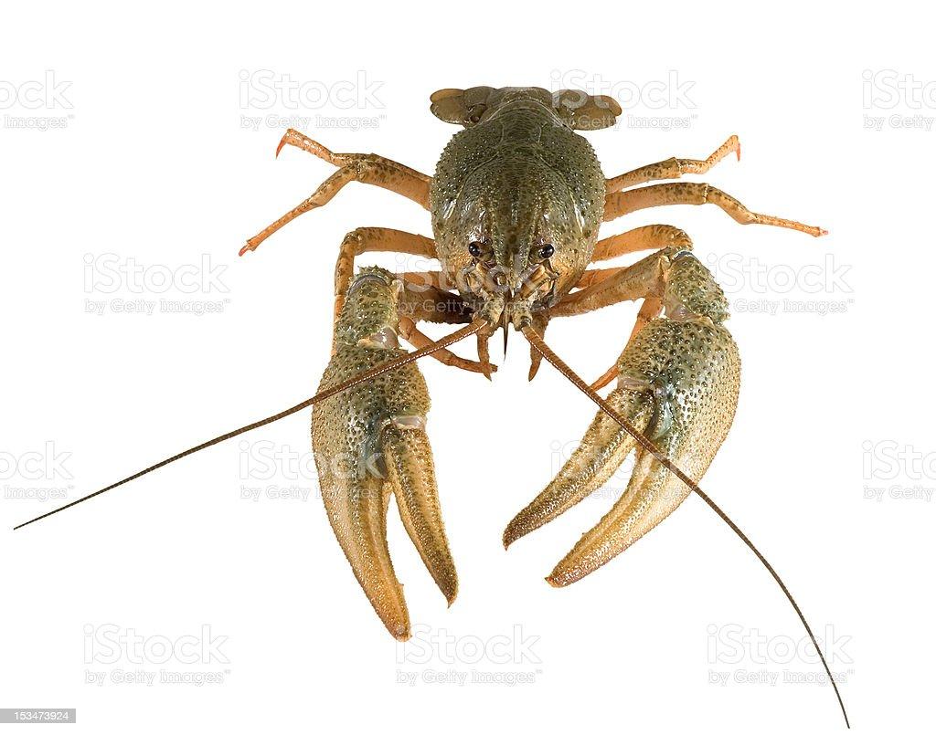 Crayfish royalty-free stock photo