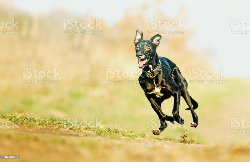 crazy and fun black young whippet dog puppy running stock photo