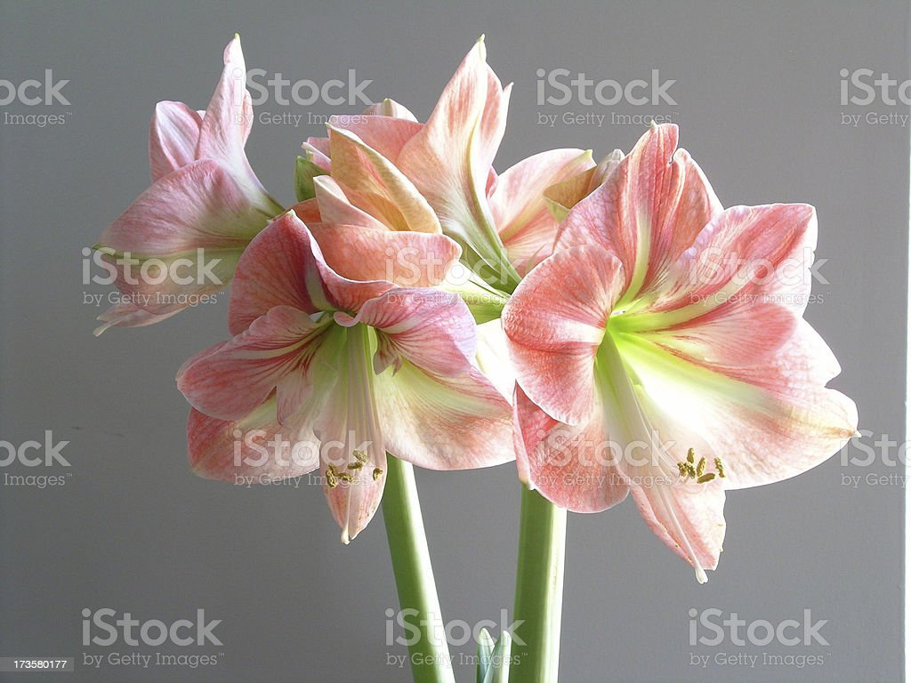 Crazy Beautiful Amaryllis stock photo