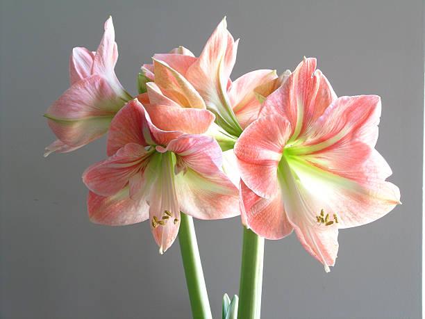 crazy magnifique amaryllis - amaryllis photos et images de collection