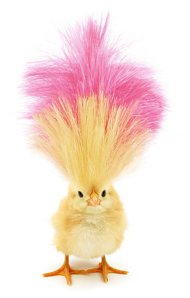 Crazy chick with ridiculous yellow pink hair This is a crazy chick with even crazier hairstyle. chicken bird stock pictures, royalty-free photos & images