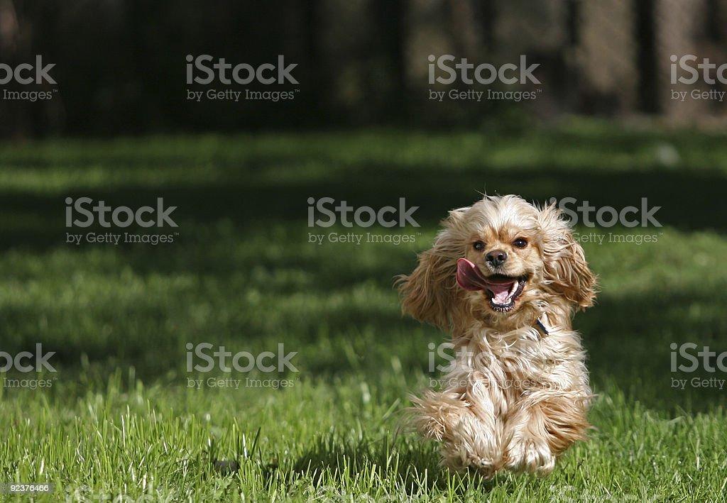 Crazy cocker spaniel royalty-free stock photo