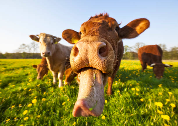 Crazy Cow  animal tongue stock pictures, royalty-free photos & images