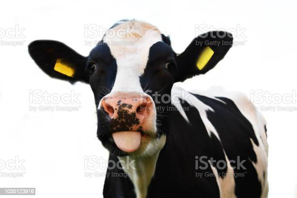 Crazy cow sticking out of his tongue isolated on white background picture id1035123916?b=1&k=6&m=1035123916&s=612x612&h=jztdumiaqmph8jd5tuxn6 lrmexpvd0zxl qsdykqsm=