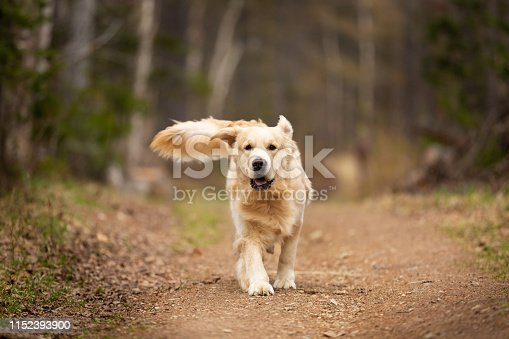 Portrait of Crazy, cute and happy dog breed golden retriever running in the forest and has fun at sunset