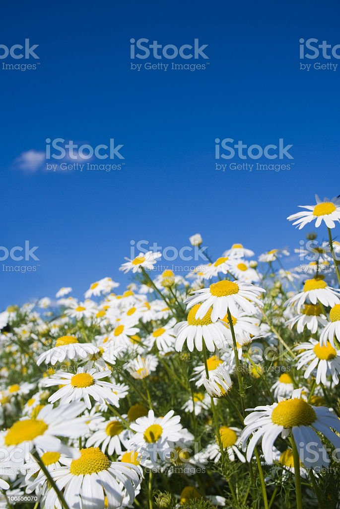 Crazy daisies royalty-free stock photo