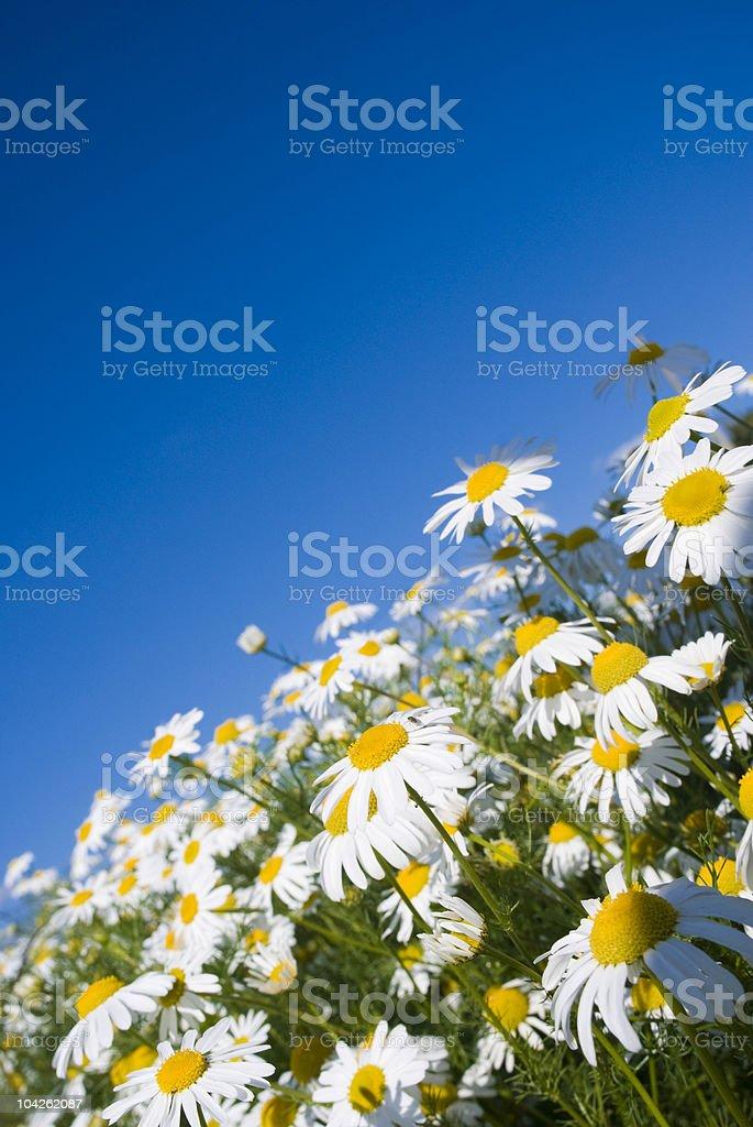 Crazy daisy's royalty-free stock photo