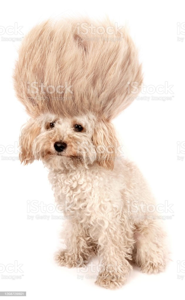 Crazy Dog Poodle Puppy With Funny Haircut Tuft Wig Hair Isolated On White Background Stock Photo Download Image Now Istock