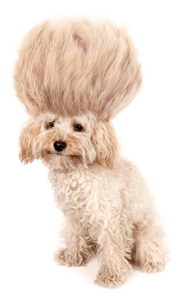 Crazy dog poodle puppy with funny haircut tuft wig hair isolated on picture id1203725501?b=1&k=6&m=1203725501&s=612x612&w=0&h=xv5vfsfgilywvhsc3a5pqcahvu9nwsmnlsxfymgro 8=