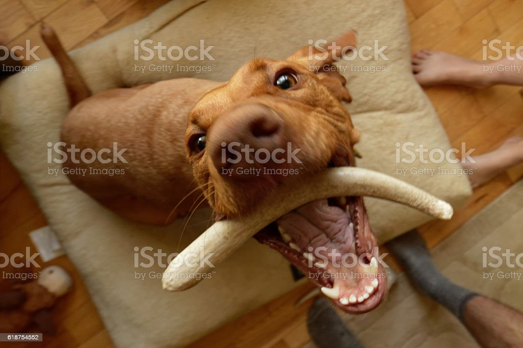 Crazy Dog With a Bone stock photo
