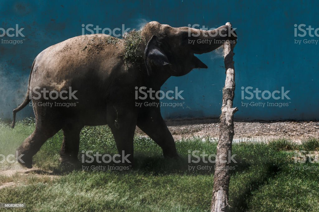 elephant gone crazy while playing.