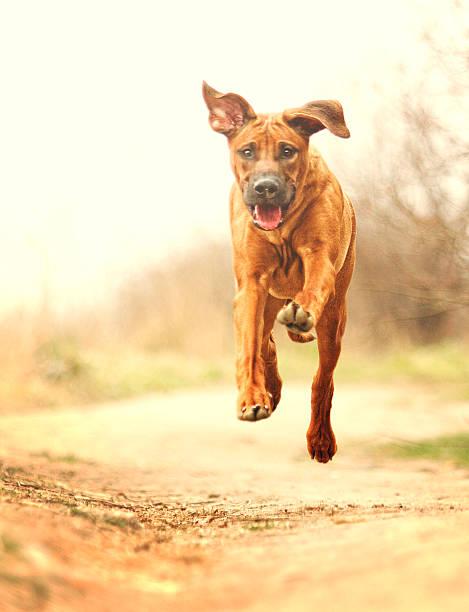 Crazy fun rhodesian ridgeback dog puppy flying and running picture id467871506?b=1&k=6&m=467871506&s=612x612&w=0&h=fcemf47mbtt25ufbwczhheel8fkg hvb9l6m1m7icgi=