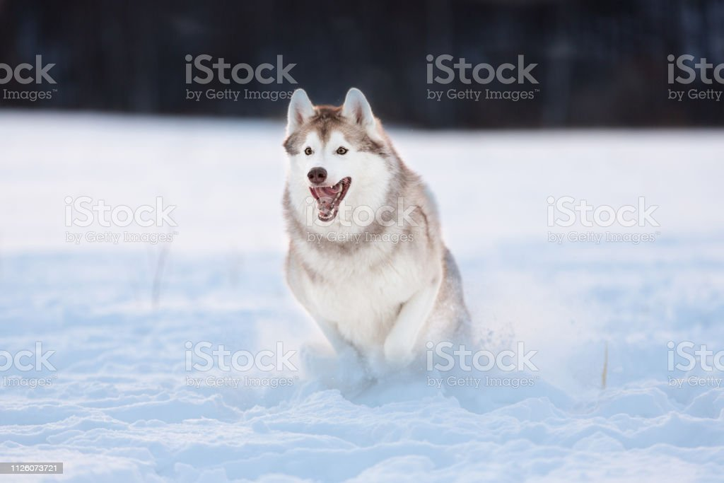 Crazy, happy and cute beige and white dog breed siberian husky with...