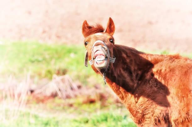 verrücktes pferd lustiges gesicht - lustige pferde stock-fotos und bilder