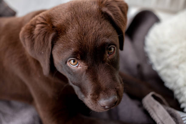 Crazy labrador puppy being naughty stock photo