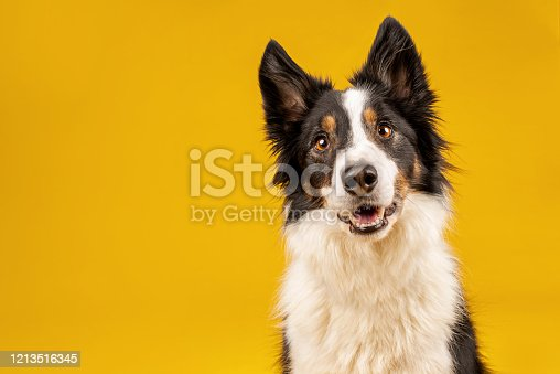 Border collie dog portrait on yellow background