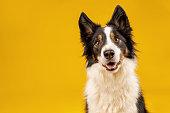 Border collie dog portrait on yellow background