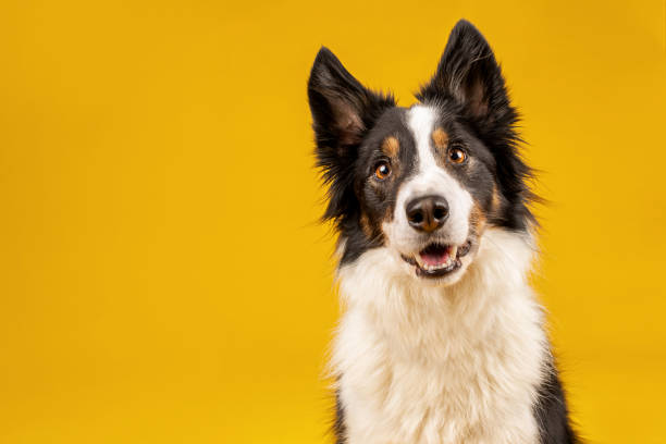 Crazy looking black and white border collie dog say looking intently picture id1213516345?b=1&k=6&m=1213516345&s=612x612&w=0&h=mndekvbd8uvq  cfcpxc9tdtnterf9yalhpp2mqe ki=