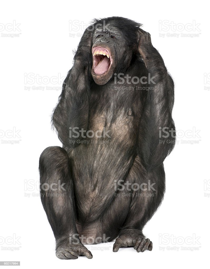 crazy monkey screaming stock photo