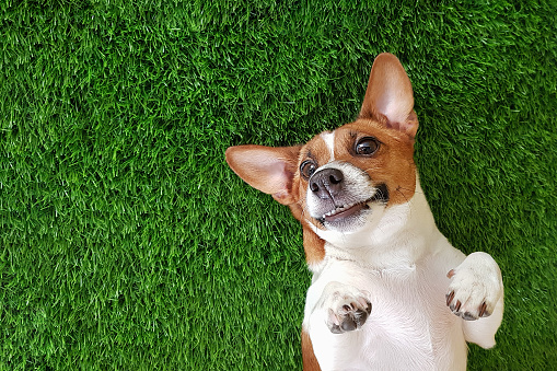 Crazy smiling dog lying on green grass.