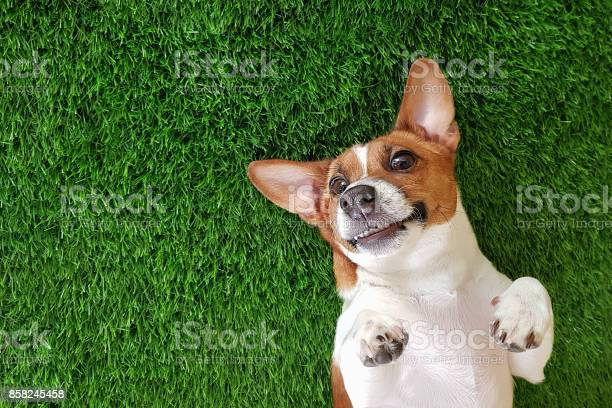 Crazy smiling dog lying on green grass picture id858245458?b=1&k=6&m=858245458&s=612x612&h=fn jwba7kqmuwc4o2p45jwg2khjxrmyg3webybsrvwq=