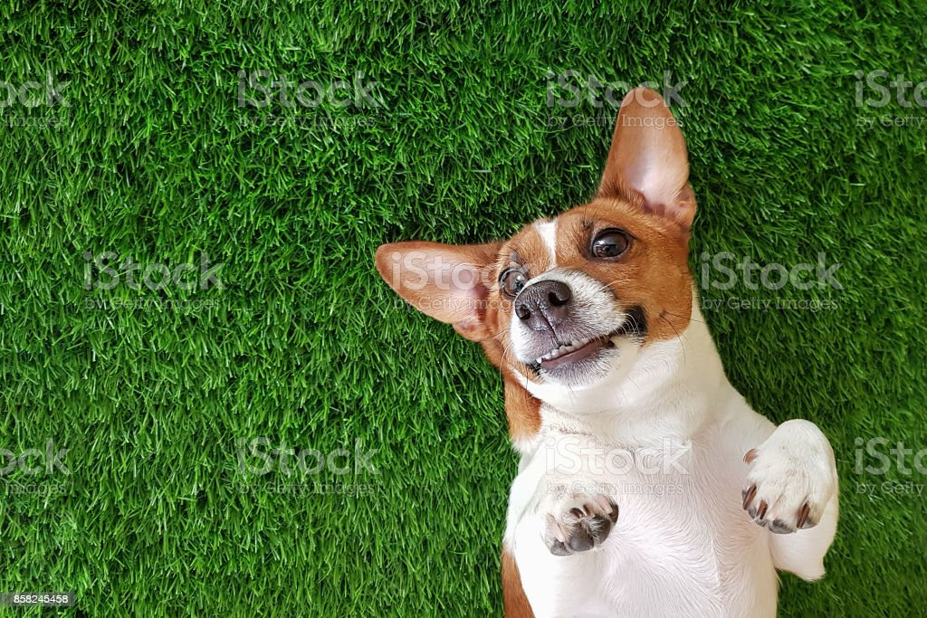 Crazy smiling dog lying on green grass. - foto stock