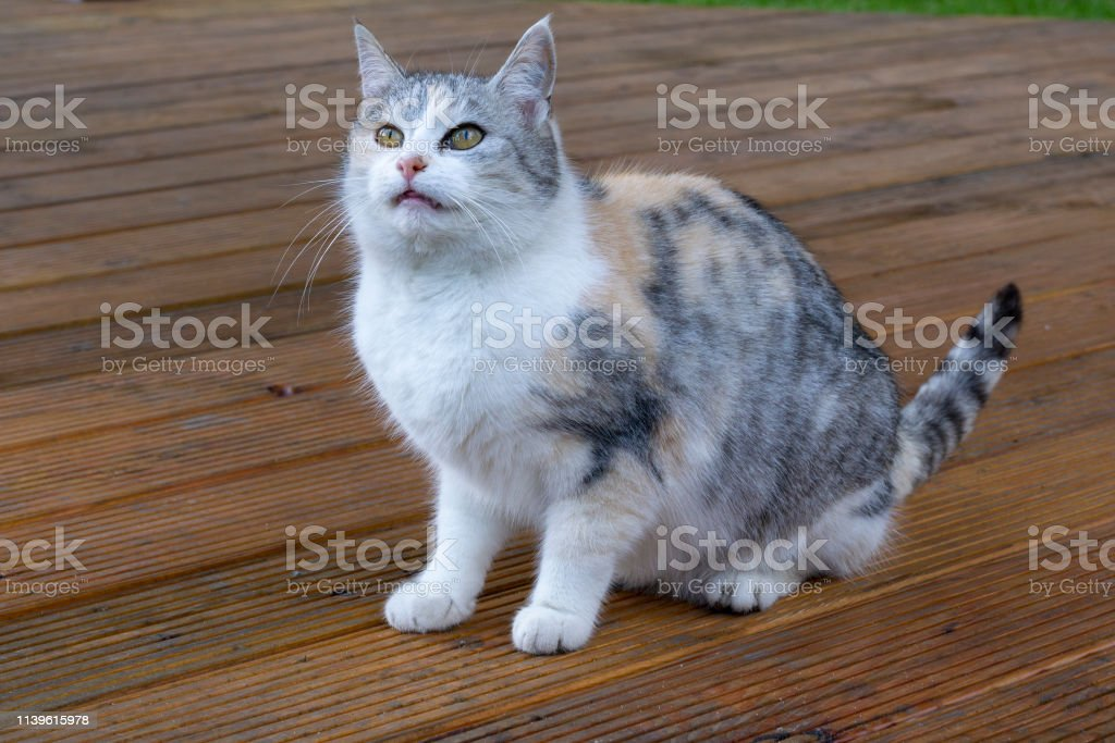 crazy tricolor cat