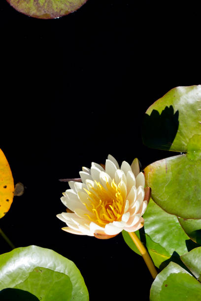 Cream and yellow Water Lily - Nymphaceae Nymphaea Arc-en-ciel with leaves floating on pond Cream and yellow Water Lily - Nymphaceae Nymphaea Arc-en-ciel with leaves floating on pond water arc en ciel stock pictures, royalty-free photos & images