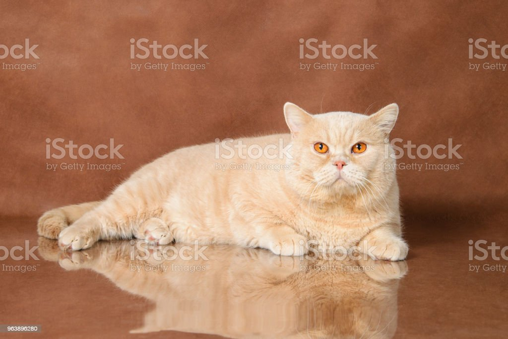 Cream British Shorthair lying on brown studio background - Royalty-free Animal Stock Photo