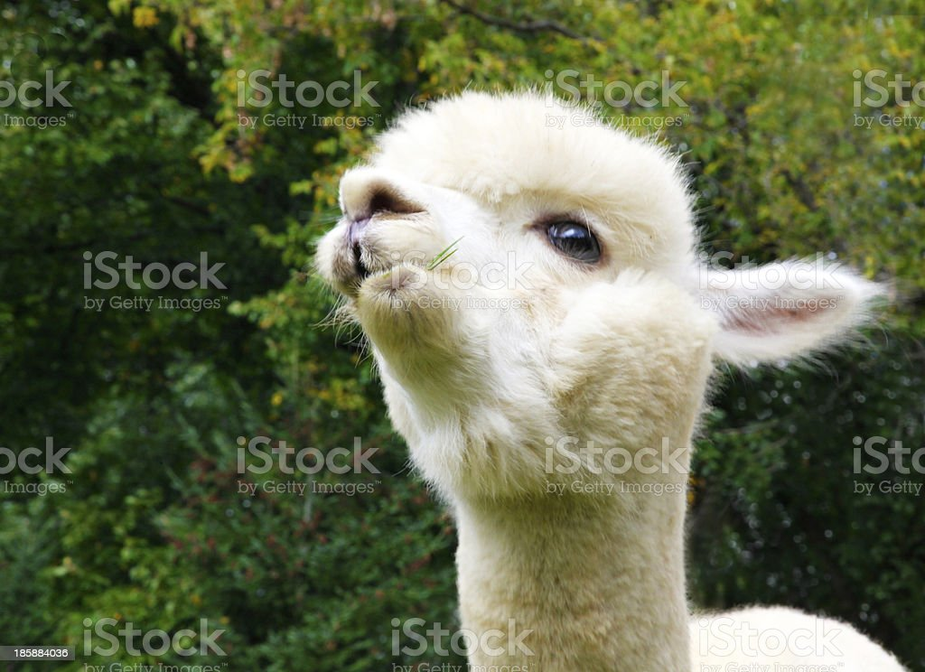 Cream colored alpaca eating grass royalty-free stock photo
