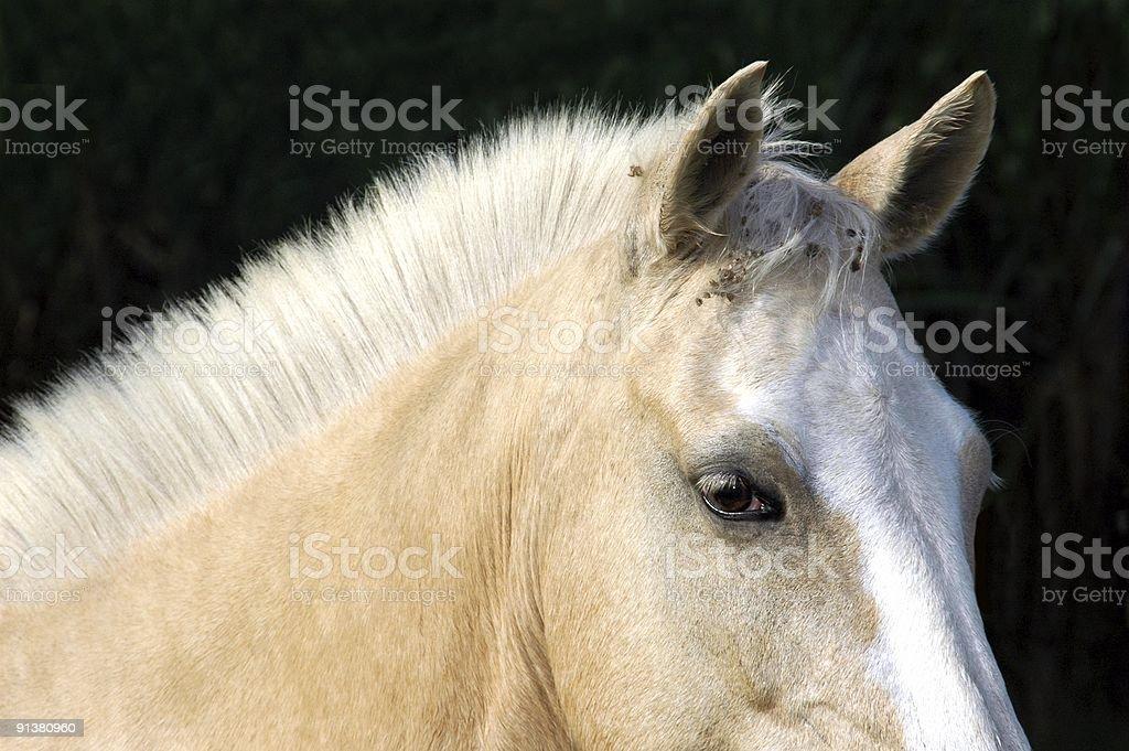 Cream horse mane close-up on black background stock photo