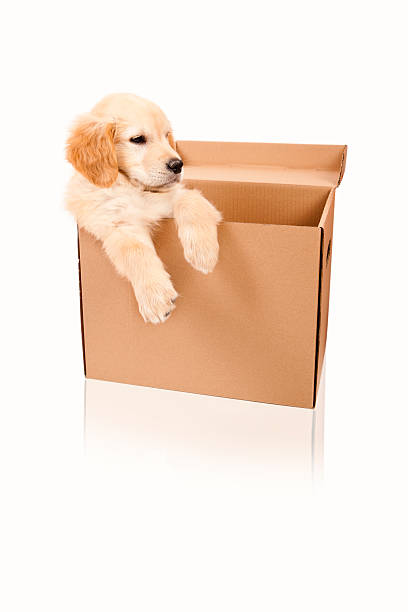 Cream puppy in a cardboard box isolated on white  stock photo