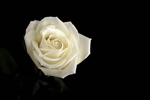 Cream rose picture id500230714?b=1&k=6&m=500230714&s=612x612&w=0&h=swywjiwkmwqdv1hq5mg98f70jlxfv2pwgkitw4vpet4=