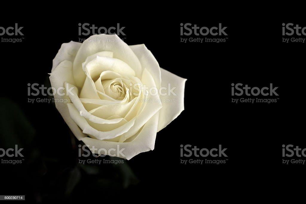 Creme-Rose – Foto