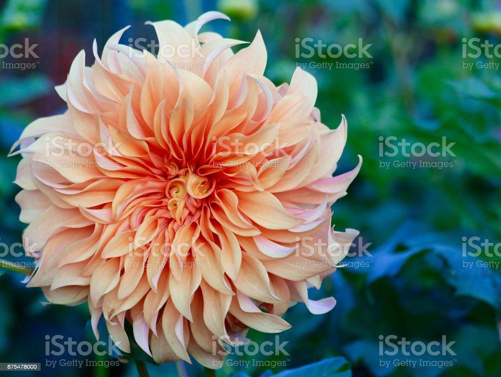 Cream Swirl Dahlia stock photo