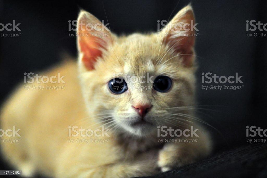 tabby Kätzchen Creme – Foto
