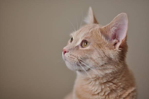 Creme Getigerte Katze (Seite/profile) – Foto