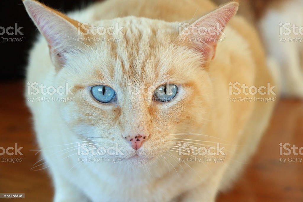 Cream White Cat stock photo