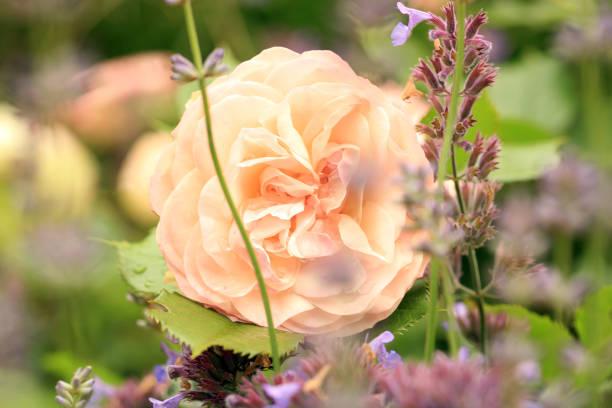 Creamy color flower gruss an aachen rose picture id912382104?b=1&k=6&m=912382104&s=612x612&w=0&h=vkelk3ookc6xlmiar4rvh4hepe59wzixnomgspvzdfi=