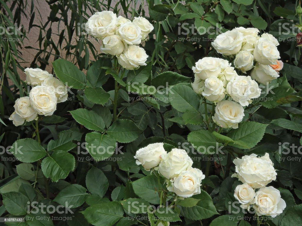 Creamy white (ivory) clusters of roses on tops of bushes in a garden. stock photo