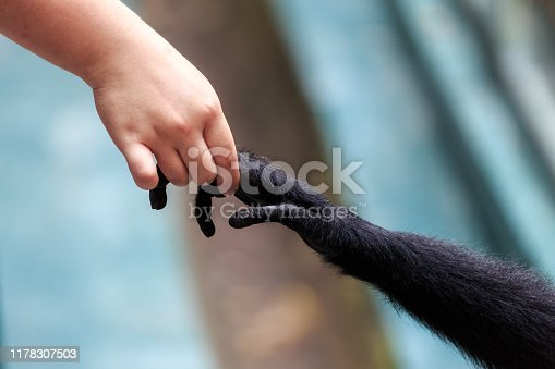 Beautiful close up of the interaction with hands of a human with a Siamang (Symphalangus syndactylus) gibbon monkey