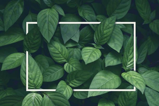 創意佈局, 綠葉帶白色方形框架, 平躺, 用於廣告卡或請柬 - 有機食品 個照片及圖片檔