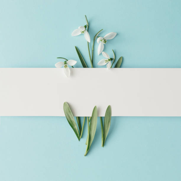 creative layout made with snowdrop flowers on bright blue  background. flat lay. spring minimal concept. - snowdrops stock photos and pictures