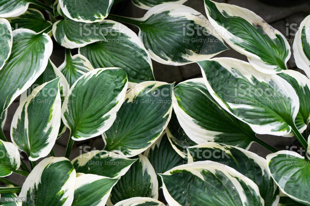 Creative Layout Of Green And White Leaves Nature Background Stock Photo Download Image Now Istock Tropical leaves free background free photo. https www istockphoto com photo creative layout of green and white leaves nature background gm1010197420 272294039